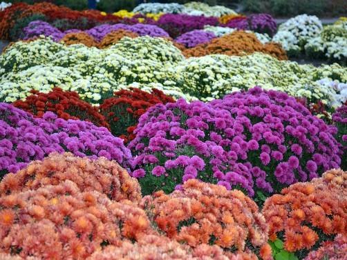 Јесењи сајам цвећа на платоу испред Спортског центра у Оџацима
